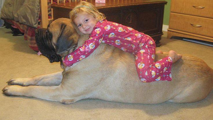 criança e cão Mastiff