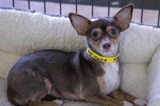Colorado Springs Co Chihuahua Meet Serena A Pet For Adoption