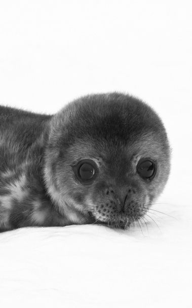 baby seal - so cute ! ✔BWC
