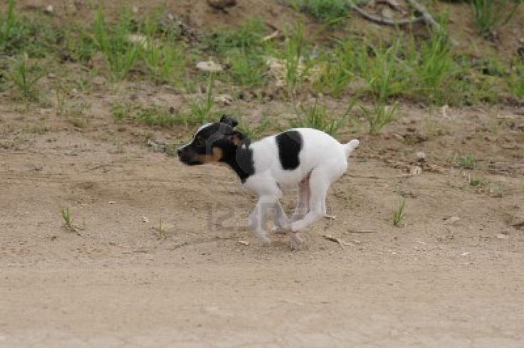Perro Pequeño, Fox Terrier Fotos, Retratos, Imágenes Y Fotografía De Archivo Libres De Derecho. Image 17508054.