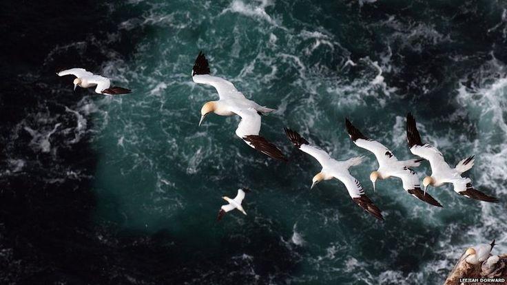 Um ganso-patola adulto conduz três filhotes em uma corrente de ar nos penhascos de Hermaness, o ponto mais ao norte das Ilhas Britânicas, nesta foto de Leejiah Dorward