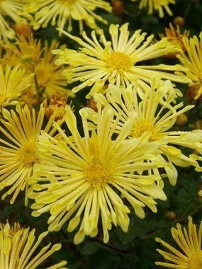 mum happy face spoon chrysanthemum my flower dome