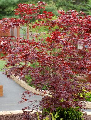 Bloodgood Maple: Beauty Runs in the Bloodline: Picture: Bloodgood Japanese maples are valued for their foliage color.
