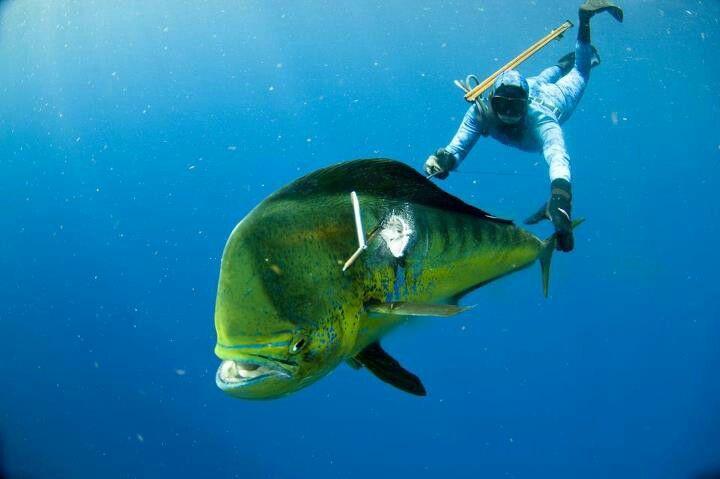 Spear fishing Mahi #SubsurfaceMayhem