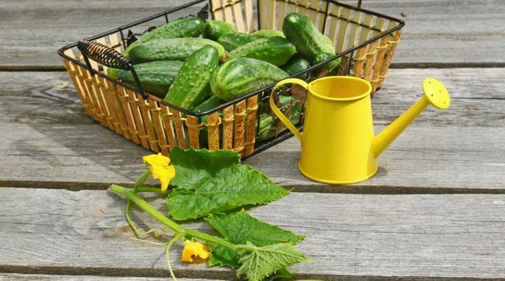 """Мечтаете, чтобы огурцы хорошо росли и давали отличный урожай? Но при этом не хотите лишний раз травить растения """"химией""""? Тогда эта статья для вас. Опытные дачники стараются как можно реже прибегать…"""