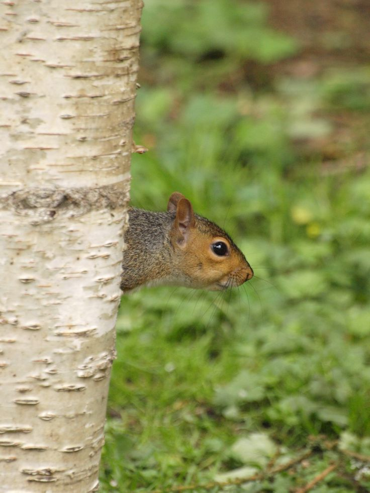 Grey squirrel trying to hide