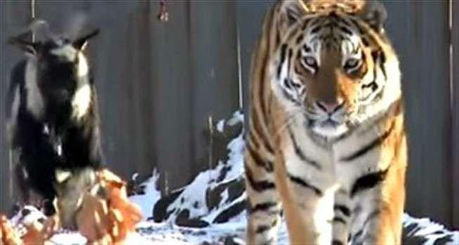 A improvável amizade entre um tigre siberiano e uma cabra num parque de safaris russo correu mundo em novembro... e terminou há uns dias, com um ataque captado em vídeo. Veja as imagens.