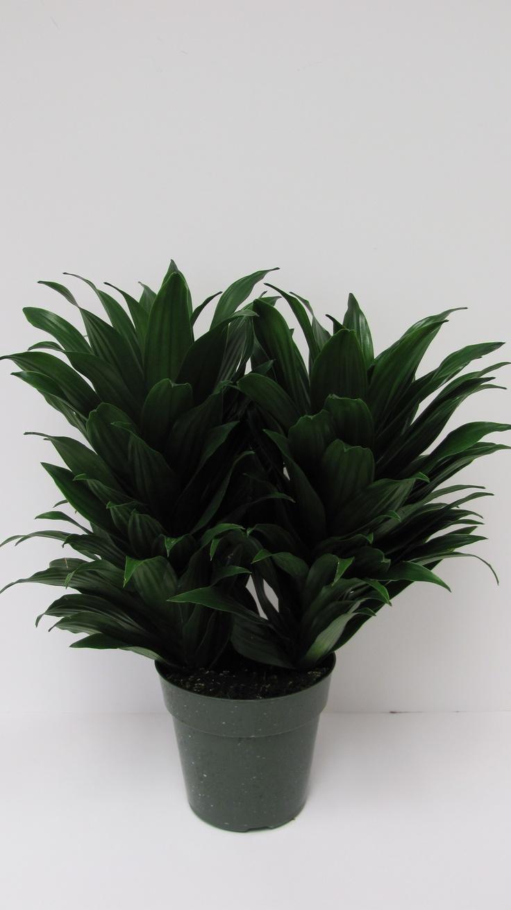 13 best dieffenbachia images on pinterest indoor plants