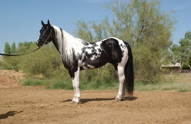 Black Paint Stallion