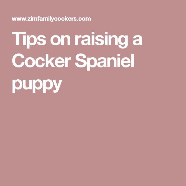 Tips on raising a Cocker Spaniel puppy