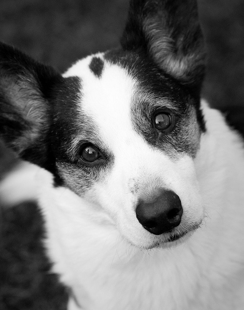 """""""Did you say...?""""    A black-and-white Cardigan Welsh Corgi ponders the meaning of the words like, """"Cookie"""", """"Treat"""" and """"Goodie Ship""""."""
