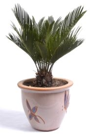 A guide to growing indoor palm plants. Sago palm, cycas revoluta, sago palm tree.