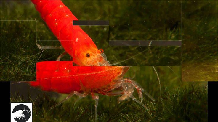 Zwerggarnele Super crystal red shrimp