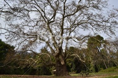 plane tree forest bench Royalty Free Stock Photo