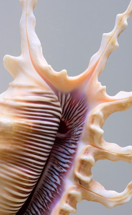 Scorpion spider conch (Lambis (Millepes) scorpius scorpius)