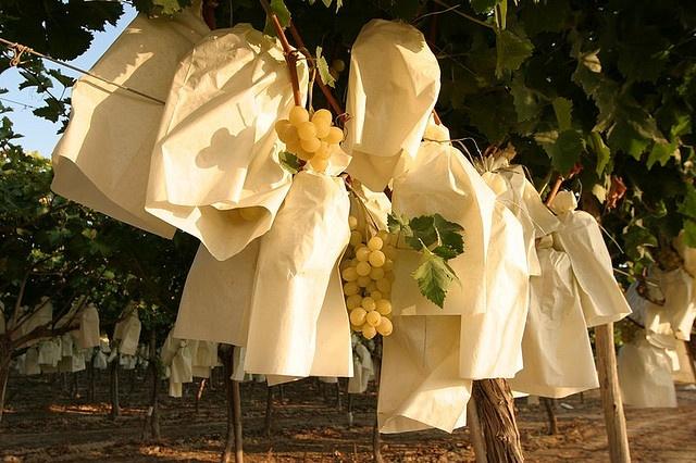Conjunto de uvas embolsadas    La Uva de Mesa del Vinalopó se embolsa, pero no en bolsas de plástico, sino en bolsas de un papel específico que permite la transpiración y evita el ataque de insectos o la incidencia de las condiciones climatológicas. El paso previo al embolsado es la selección de los racimos cuando entran en su fase de maduración, cada uno de los racimos escogidos se embolsa para su preservación.  #grape #uva #embolsada #vinalopo #Spain #alicante #natural