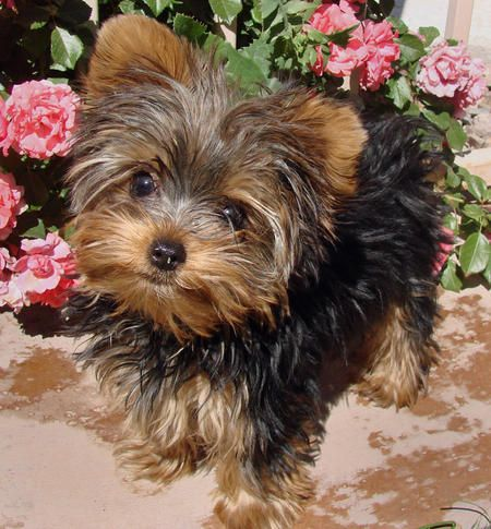 Coco the Yorkshire Terrier.  My human parents are always laughing at me and telling me how cute I am. I look forward to growing up so I can jump on my daddy's lap!
