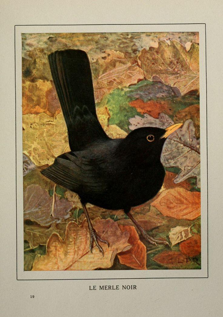 Oiseaux d Europe image oiseau - 0295 le merle noir.jpg
