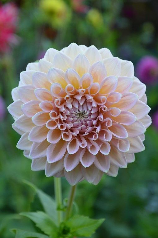 775 best dahlias images on pinterest | flowers, plants and pretty