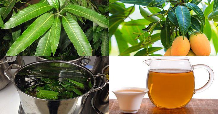 O Chá da folha de manga tem propriedades medicinais incríveis. Desde problemas…