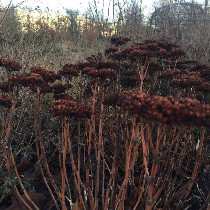 """43 gilla-markeringar, 1 kommentarer - Ulrika Gustafsson (@plingsulli) på Instagram: """"Rostigt #flowers #inspiration #kärleksört #garden"""""""