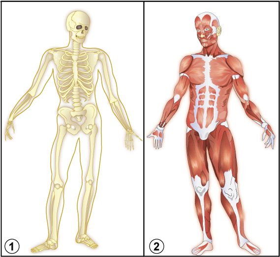 Muscular System Interacting With Skeletal System 107