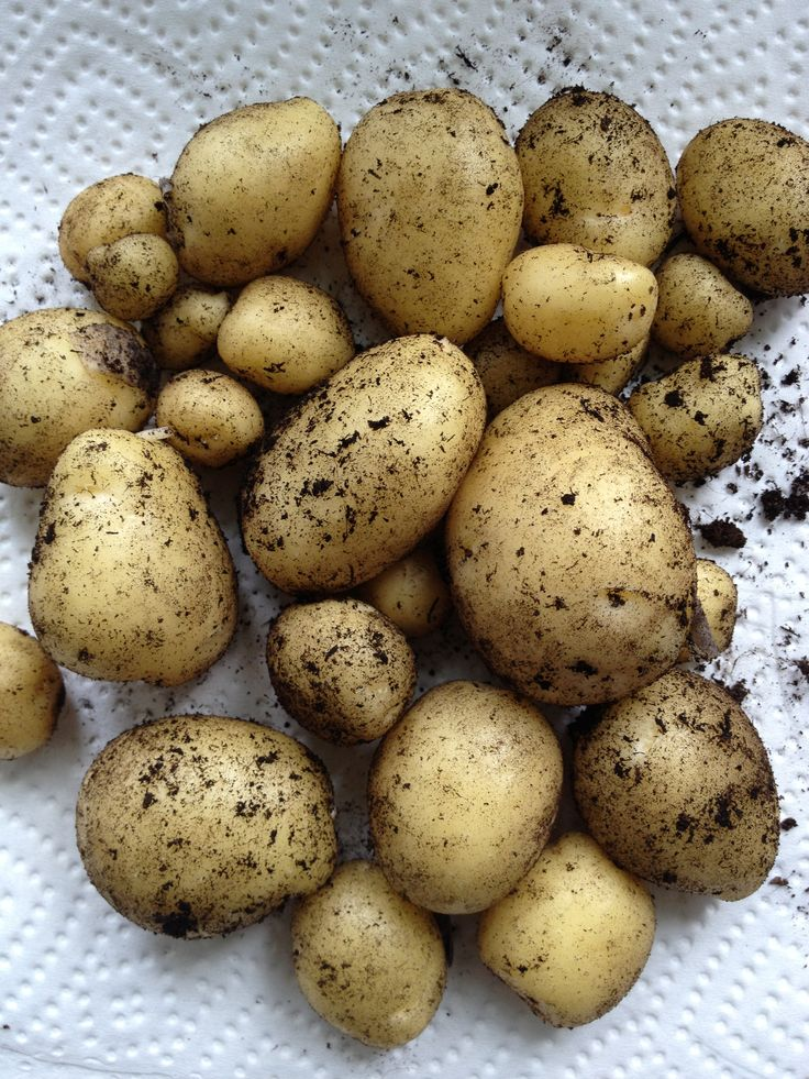 Nye kartofler fra potatopots