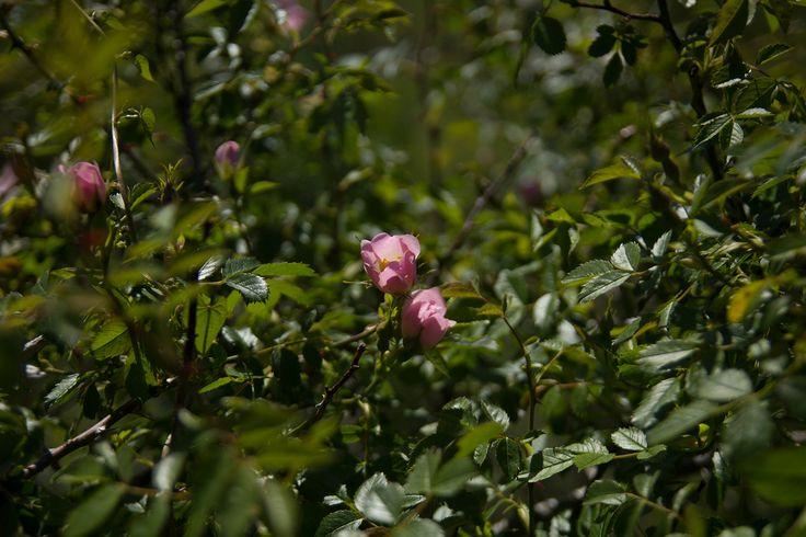 Le #Rosier des #Chiens, Rosier des #haies ou #Églantier des chiens (#Rosa #canina L.), est une espèce d'arbrisseaux épineux de la famille des #rosacées, très commun dans les régions tempérées de l'Ancien Monde.