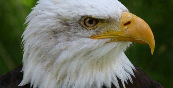Random Facts About Bald Eagles