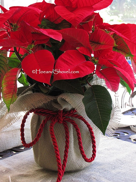 I love to enjoy a poinsettia over the holidays.  (Grandma always had at least one big bright one displayed.)  However, I can't say I love those foil wrappings and I don't have a place to store baskets yet.  I DO have some burlap that fits right in at Christmas!  This will be a lovely addition to the table for Michael's party and then we'll pass it on to a neighbor for continued Christmas cheer before our Abby Cat discovers it!