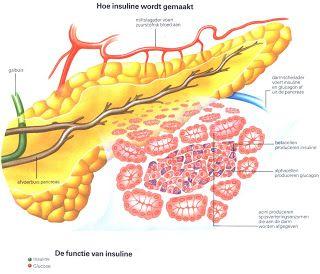 Despre pancreasul endocrin, rolul insulinei si al glucagonului.