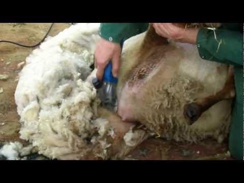 schapen scheren