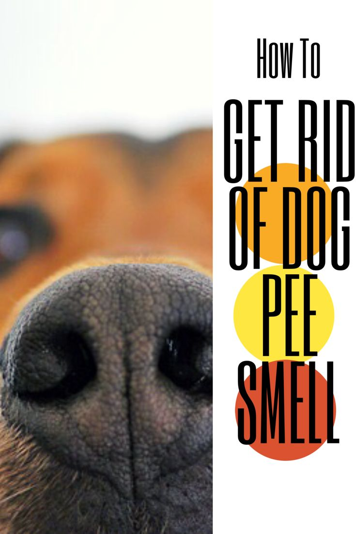 How To Get Smell Out Of Carpet >> Need to get that dog pee smell out of your carpet or couch ...