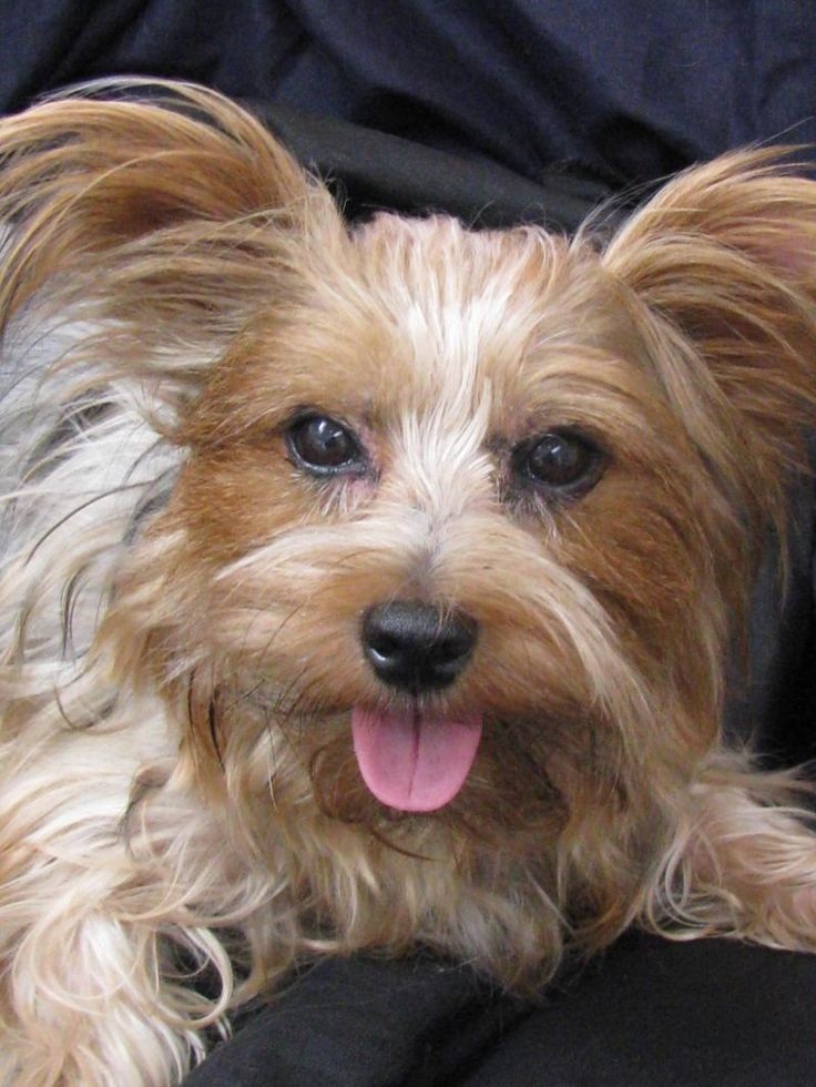 yorkshire terrier for adoption i found jackson on silky terrier terrier and adoption 9453