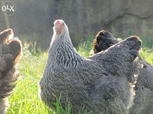 Ovos Galados; Galinhas; Galos e Frangos de Raça Pura Azeitão (São Lourenço E São Simão) - imagem 6