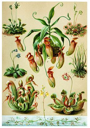 Différentes Plantes carnivores