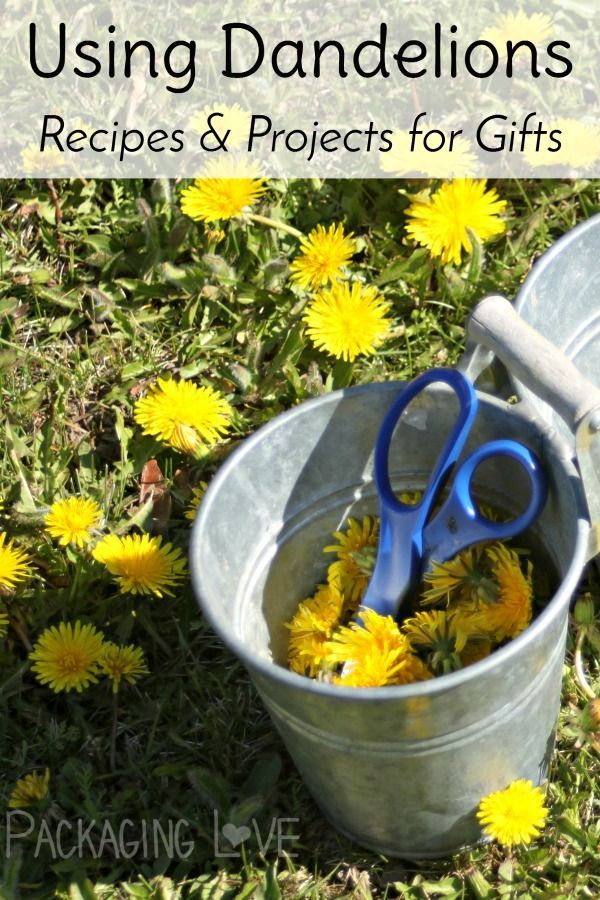 Make the most of nature's abundance by gathering and using dandelions for gift giving with these easy recipes for food and body products.