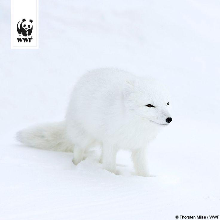 Stürme, Schnee, Hitzewellen oder Kälte – über Jahrmillionen haben sich Tiere an extreme Klima- und Wetterbedingungen angepasst. Wie dieser Polarfuchs.