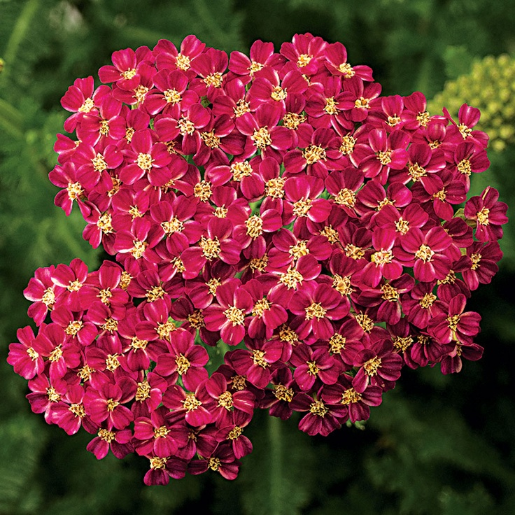 Achillea Desert Eve Deep Rose - Full Sun - Bred for compact growth, its large flower heads spread up to 4 inches across, beautifully accenting the 16- to 20-inch plant. Zones 5-9.