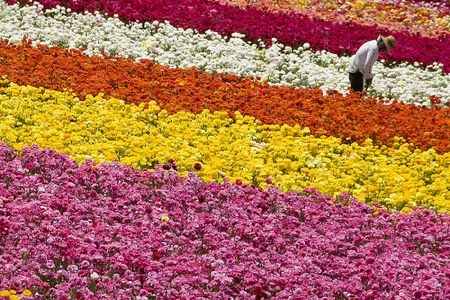 Carlsbad flower fields.  Hope to go here this spring!  All ranunculus!!