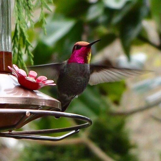 Anna's Hummingbird #annashummingbird #upperleftusa #nofilter #hummingbird #pnw #pnwisbeautiful #pnwonderland #portland #forestheights #mybackyard #usa #iphoneonly #beautyofnature #bird