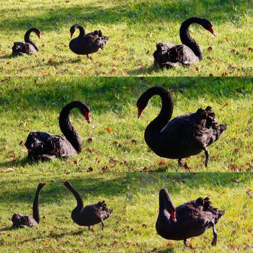 Zwarte zwanen in de omgeving van Nationaal Park De Loonse en Drunense Heide. Niet veel voorkomend in Nederland. Een volwassen zwarte zwaan kan 1.40m worden en een spanwijdte hebben van 2m  -  Black swans in the area of National Park De Loon and Drunen Heide. Not very common in the Netherlands. An adult black swan is 1.40m and have a wingspan of 2m