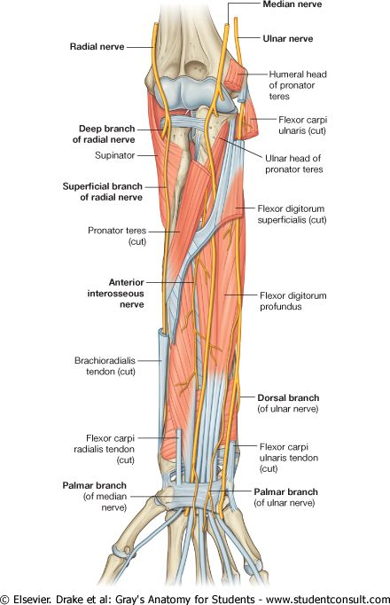 median nerve in the forearm, distal to the elbow joint, branches to the muscles in the superficial and intermediate layers of the forearm. Anterior interosseous nerve innervates the muscles in the deep layer. Palmar branch innervates the skin over the base and central palm. Injury of median nerve leads to Ape Hand/Thumb Deformity.