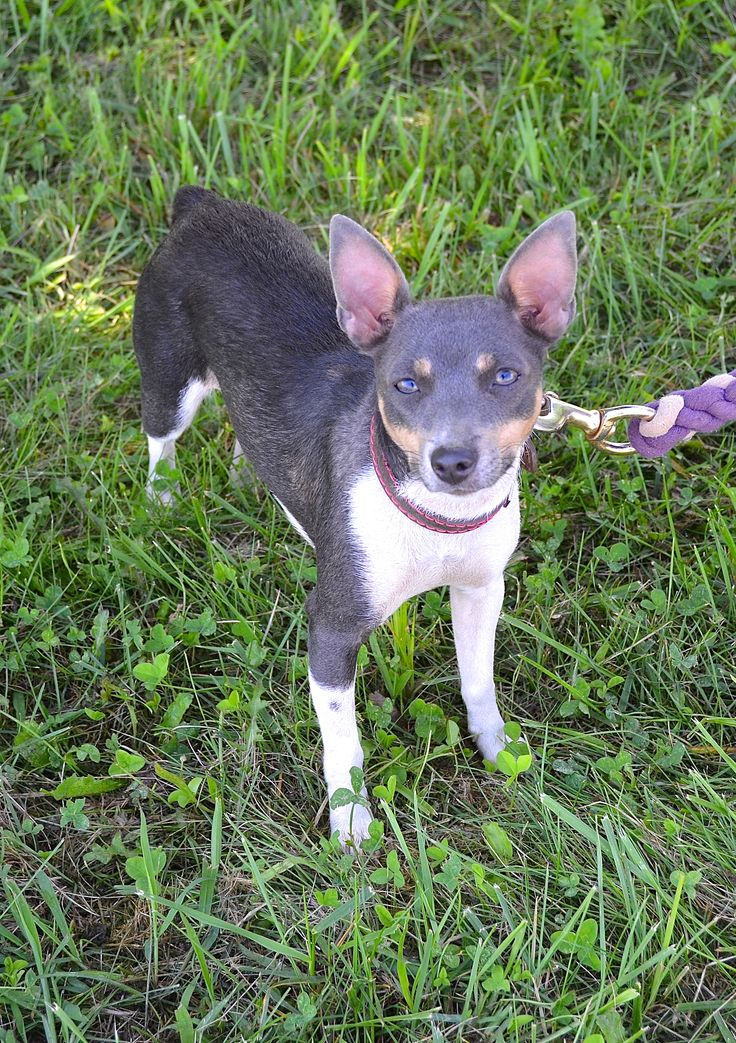 Best Dog Food For A  Year Old Rat Terrier