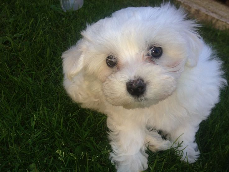 Free Maltese Puppies for Sale Maltese puppy, Puppies for