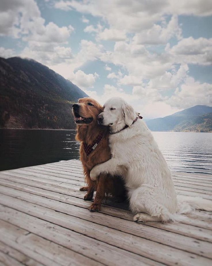 Un Lovely Couple De Golden Retrievers Adopte Un Chat Le Temps D Un