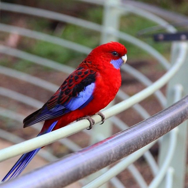 Crimson Rosellas as seen in abundance on our half day tour to Puffing Billy and the Blue Dandenongs.  As well as many other Australian native birds.  Pic credit - Amil: https://www.twenty20.com/aperture_ag517