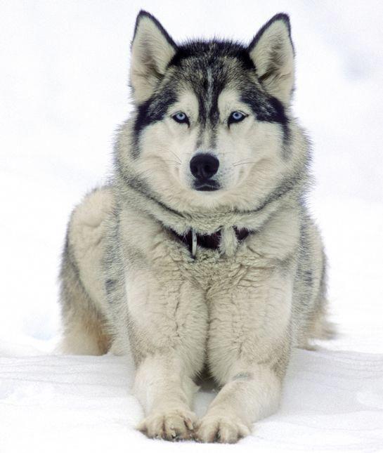 10 Cool Facts About Siberian Huskies Siberianhuskies Siberianhusky