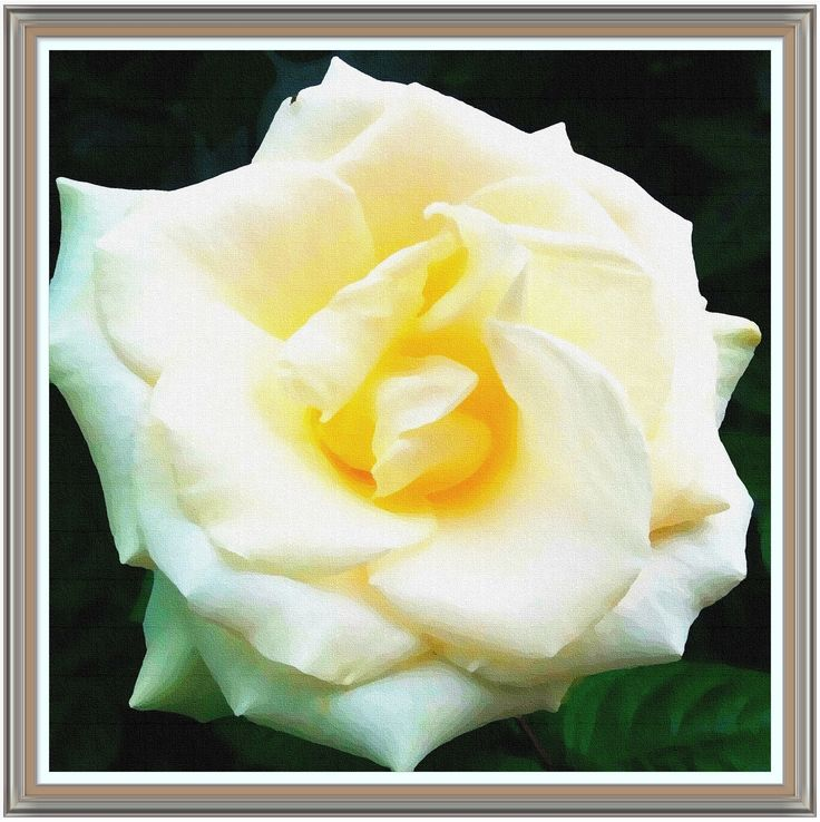 A magnificent creamy rose. Look at that golden center. You can almost smell it's delightful scent!