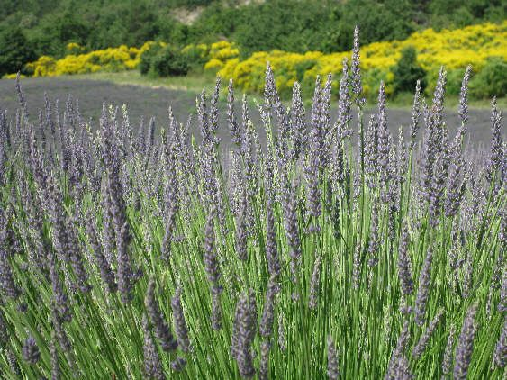 Easy to make lavender wand..